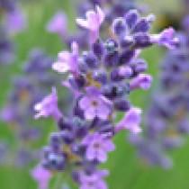 Lavender - organic