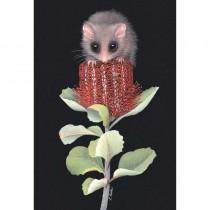 Australian Pygmy Possom on Banksia Flower