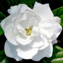 Gardenia essential oil 3%