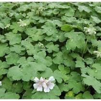 Geranium (African)