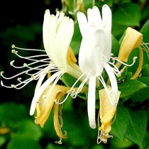 Honeysuckle Essential Oil 3%